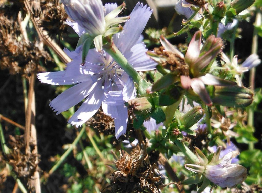 Radicchio-flower