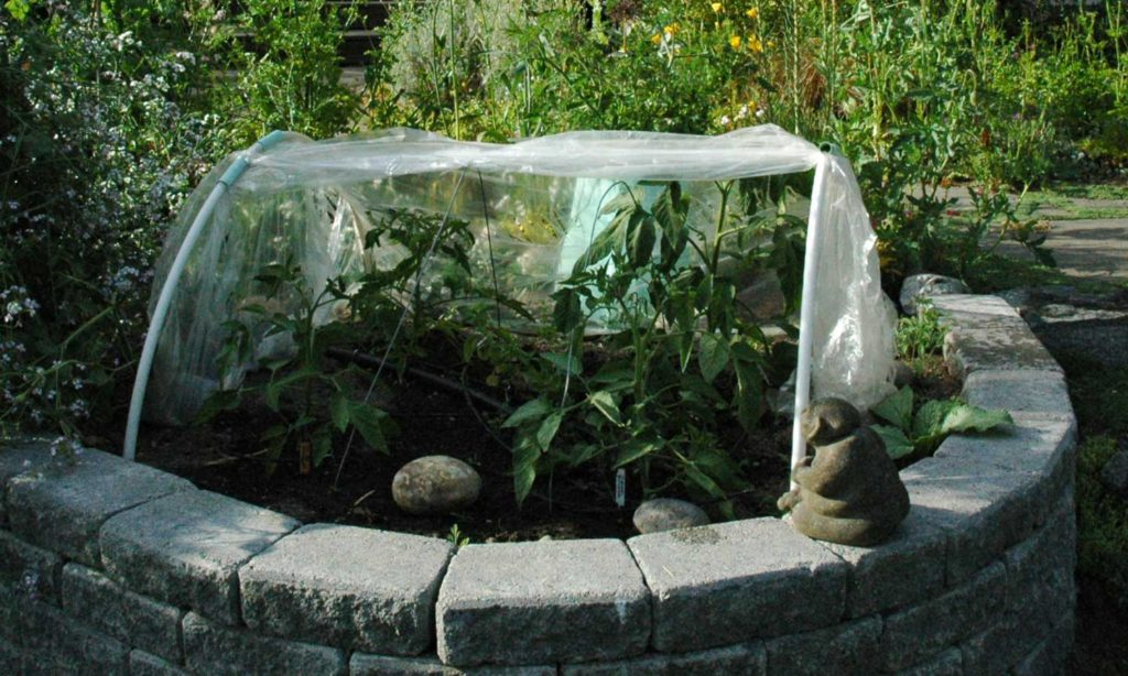 tomatoes in cloche